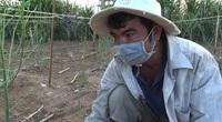 Ninh Thuận: Nông dân ngậm ngùi cắt bỏ măng tây xanh cho bò ăn vì không có thương lái thu mua