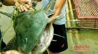 5 loài cá đặc sản nào quý hiếm nhất ở miền Tây tỉnh Nghệ An, có loài cá tên là tịt mũi không?