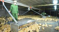 Bắc Giang: Tận thấy trang trại nuôi 13.000 con vịt/lứa, mỗi năm nuôi 5 lứa, mỗi lứa lãi 300 triệu đồng