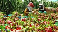 Tại sao tỉnh An Giang bất ngờ khuyến cáo doanh nghiệp điều chỉnh kế hoạch xuất khẩu thanh long sang Trung Quốc?