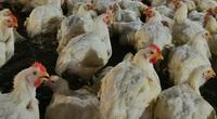 Giá gia cầm hôm nay 31/7: Giá vịt thịt tại các miền chênh lệch lớn, giá gà trắng miền Nam giảm thêm