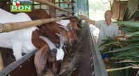 Đắk Nông: Trồng tiêu tiêu chết, trồng cỏ nuôi con tai dài chỉ uống thêm nước lã lại khá giả hẳn lên