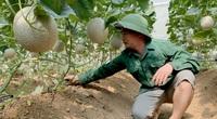 """Bắc Kạn: Vườn trồng dưa lưới, dưa lê Hàn Quốc của chàng bí thư chi bộ đẹp mê li, ai đi qua cũng """"đắm chìm"""""""