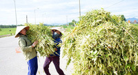 Nghệ An: Nông dân thu hàng chục triệu đồng/ha từ loại cây có hạt bé li ti nhưng rang lên thì thơm lừng