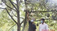 Covid-19 Khánh Hòa: Trái cây đặc sản Khánh Sơn trúng mùa chưa từng thấy, nhìn cây trĩu trái mà dân lo ngay ngáy