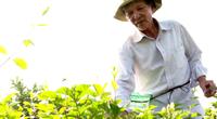 Tiền Giang: Trồng thứ cây trổ bông nở trắng như bạch ngọc, thơm cả cánh đồng, nông dân đút túi 1 triệu/ngày
