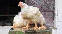 Giá gia cầm hôm nay 2/8: Giá gà, vịt ba miền có biến động, vịt thịt miền Nam khó bán