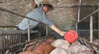 Giá heo hơi hôm nay 2/8: Giá lợn hơi có nơi đạt gần 70.000 đồng/kg, nhiều trang trại vẫn có lãi khá