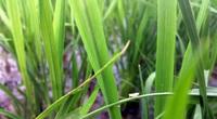 Bắc bộ: Cần chủ động phòng trừ bệnh lùn sọc đen hại lúa