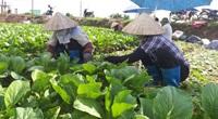 Hà Nội: Giá rau tăng, vận chuyển có khó khăn nông dân vẫn vui vì lãi khá