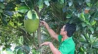 Tiền Giang: Giá mít Thái tăng gần gấp đôi, nông dân trồng mít thở phào nhẹ cả người