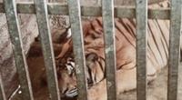 """Nghệ An: Phá chuyên án nuôi nhốt hổ trong nhà dân, thu giữ 17 """"ông ba mươi"""""""