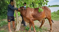 Hôm trước vừa xem tivi khuyến cáo, hôm sau thấy bò nhà mình bị bệnh viêm da nổi cục