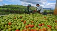 Đến khổ! Dịch giã liên miên, nhiều nơi khan hiếm, ở tỉnh Lâm Đồng cà chua đổ đống, vứt cho heo ăn