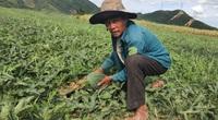 Covid-19 Đà Nẵng: Trồng dưa ra hấu trái nằm la liệt ngoài đồng, nông dân bán trầy trật