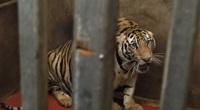 ẢNH: Bên trong hầm nuôi 17 con hổ ở Nghệ An