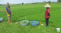 Bà Rịa-Vũng Tàu: Trồng rau má ngon nhưng chúng tôi đang phải cắt bỏ cho heo rừng ăn