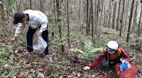Huế: Dân đổ xô lên vùng đồi núi hái thứ cây bổ dưỡng mọc lên sau mưa, đút túi tiền triệu mỗi ngày