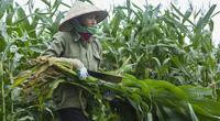 Giống ngô gì trồng được 3 - 4 vụ/năm, doanh nghiệp mua cả thân, lá với giá cao?