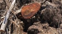 """Dự án Nhà máy điện mặt trời """"tàn sát"""" 5,2ha rừng do nhầm lẫn: Bất ngờ báo cáo của UBND huyện Phù Mỹ gửi tỉnh"""
