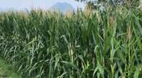 Ngô sinh khối - Giải pháp tiên phong cho tái cơ cấu nông nghiệp