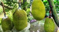 Giá mít Thái hôm nay 17/9: Hôm qua giảm nay đi ngang, vì sao trái mít méo mó, cách nào khắc phục nhanh nhất?