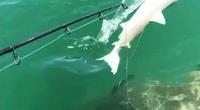 Video: Kinh hoàng khoảnh khắc cá mập bị thủy quái khổng lồ nuốt gọn chỉ trong tích tắc