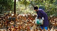 Chị chủ trang trại nuôi gà vi sinh chia sẻ bí quyết nuôi gà để khách hàng ăn 1 rồi lại muốn ăn 2