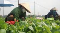"""Nới lỏng giãn cách, nông dân Hà Nội tất bật hái rau ở """"vùng xanh"""""""
