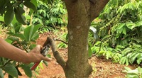 Chuyên gia hướng dẫn cách tỉa cành, tạo tán cho cây ăn trái năng suất cao vượt trội