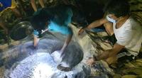 """Những người """"đỡ đẻ"""" cho """"sản phụ"""" rùa biển, gần 300 chú rùa con chào đời an toàn"""