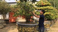 Vĩnh Phúc: Trồng những cây cảnh bonsai lạ mắt, ông nông dân bán giá 10-20 triệu/cây, lãi 1 tỷ/năm