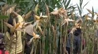 Mô hình trồng cây bắp lai hiệu quả kinh tế như thế nào mà bà con nơi đây ai cũng muốn nhân rộng?