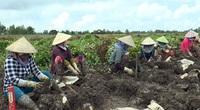 Đồng Tháp: Tháo gỡ khó khăn cho củ khoai từ ở Lai Vung
