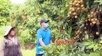 Bình Phước: Vì sao nông dân thiệt đơn thiệt kép với loại cây ra trái từng chùm này?