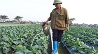 Thái Bình: Lúa, rau tốt bời bời nhờ bón phân khoáng hữu cơ Lâm Thao