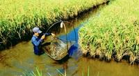 """Khắp nơi ở Đồng bằng sông Cửu Long: """"Con tôm ôm cây lúa"""""""