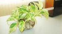 6 loại cây cảnh thủy sinh giúp điều hòa không khí, mang lại may mắn, tài lộc