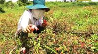 Đắk Nông: Trồng sâm lạ, trồng cây dược liệu lạ-vì sao ngành chức năng lại cảnh báo?