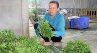 Hà Tĩnh: Rau gia vị bán rẻ như cho, nông dân ứa nước mắt