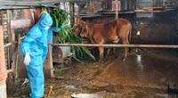 Bà Rịa - Vũng Tàu: Cán bộ phường đội mưa cắt cỏ cho thỏ, đỡ đẻ cho heo giúp bà con cách ly