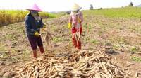 Trung Quốc mua 1,82 triệu tấn, giá một loại nông sản của Việt Nam tăng mạnh nhưng phải cạnh tranh với Thái Lan