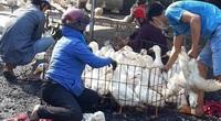 Giá gia cầm hôm nay 28/9: Người nuôi bị lái lừa tráo hàng, gà, vịt được giá vẫn thua lỗ nặng