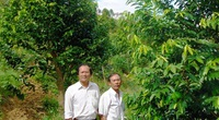 Lâm Đồng: Lạ, trồng cây gió bầu thành rừng bạt ngàn, cho cây sầu riêng, trà dây vô ở chung, doanh thu 3 trong 1