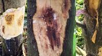Giá mít Thái hôm nay 28/9: Giá đi ngang, dấu hiệu cây mít dễ bị xì mủ, không khắc phục sớm là phải chặt bỏ