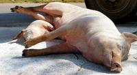 Dịch tả lợn châu Phi tái phát ở nhiều địa phương, Bộ NNPTNT yêu cầu làm ngay việc này