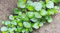 """Ít ai ngờ loại rau được xem như """"cỏ dại"""" vứt đâu cũng sống lại có công dụng như thảo dược vàng"""