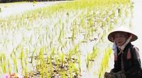 ĐBSCL: Cứ nói mô hình tôm lúa là hay, có lội xuống ruộng mới thấy nông dân còn bấp bênh thế này