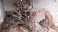 """Gốc sưa """"khủng"""" bạc tỷ ở Quảng Bình sẽ được đưa vào bảo tàng"""