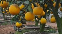 Nhà giàu Việt bỏ hàng chục triệu mua chậu cam Canh, bưởi Diễn chơi Tết